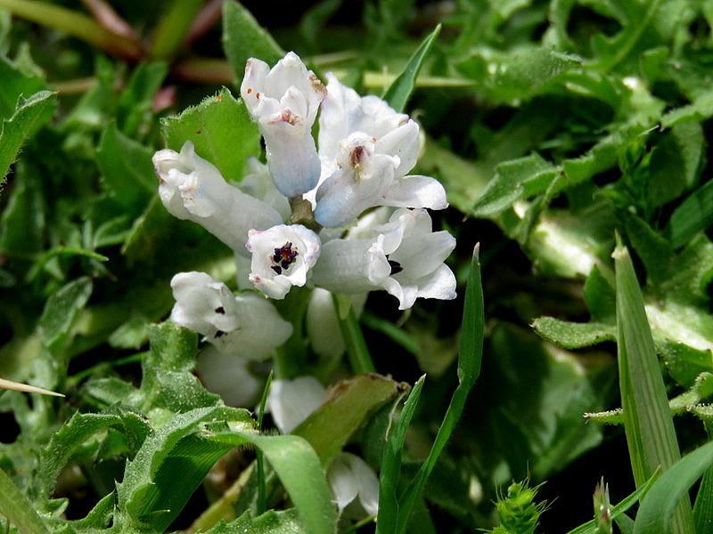 Bellevalia desertorum IMG_7769-001
