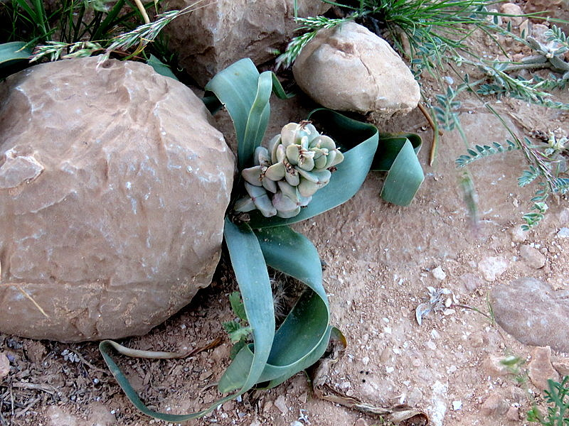 Bellevalia desertorum IMG_9908-001