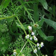 Bifora testiculata Roemeria hybrida IMG_7637-003 (2)