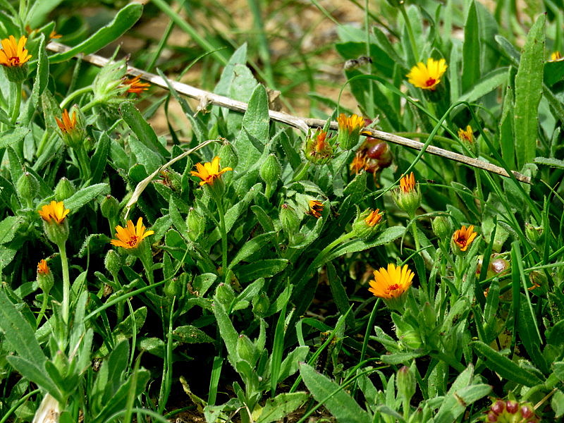 Calendula arvensis IMG_7819-001