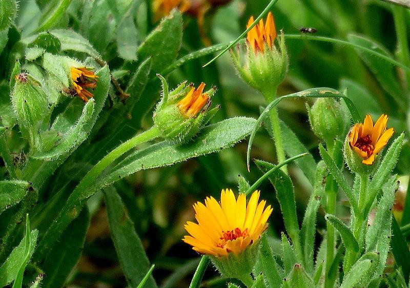 Calendula arvensis IMG_7820-001
