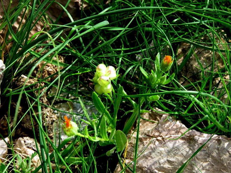 Calendula arvensis IMG_7969-001