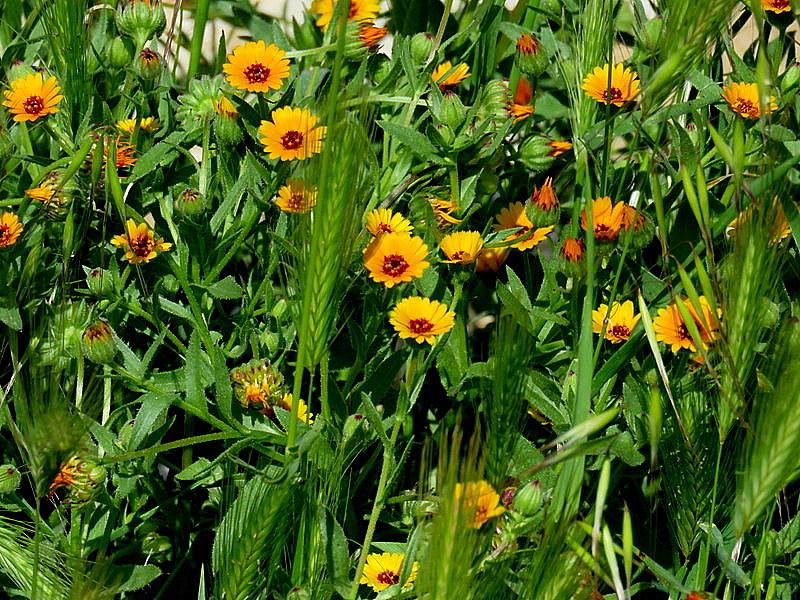 Calendula arvensis IMG_8992-002