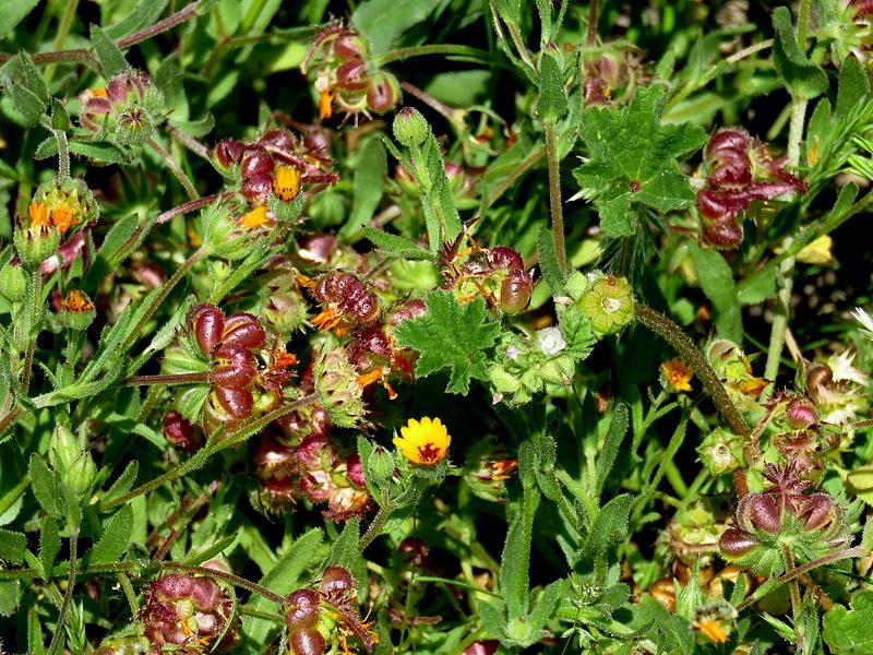 Calendula arvensis IMG_9120-001