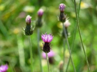 Carduus argentatus IMG_4850-001
