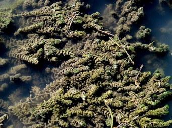 Ceratophyllum demersum Rogolitn_IMG_6016-001