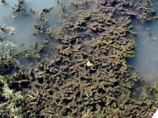 Ceratophyllum demersum Rogolitn_IMG_6022-001
