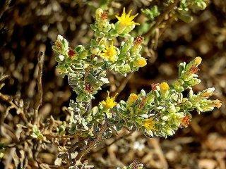 chiliadenus-iphionoides-img_0427-003-a