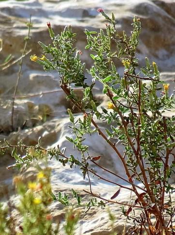 chiliadenus-iphionoides-img_0468-001