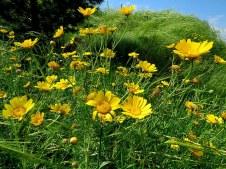 Chrysanthemum coronarium IMG_1403-001