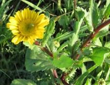Chrysanthemum segetum IMG_3474-002