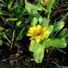 Chrysanthemum segetum IMG_3477-001