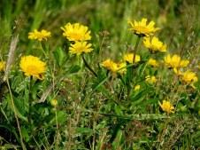 Chrysanthemum viscosum IMG_3436-001