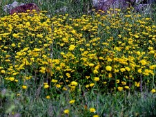 Chrysanthemum IMG_3440 (2)