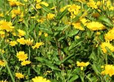 Chrysanthemum viscosum IMG_3442-001 (2)