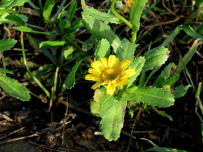 Chrysanthemum viscosum IMG_3477-001