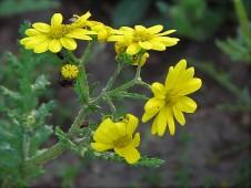 Chrysanthemum viscosum_IMG_3968 (3)