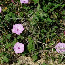 Convolvulus althaeoides IMG_1211-001