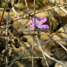 Dianthus strictus IMG_0411-001