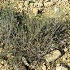 Dianthus strictus IMG_0418-001