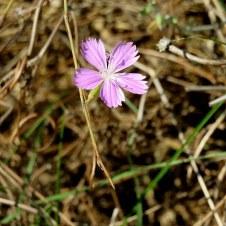 Dianthus strictus IMG_0456-001