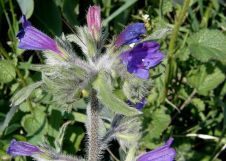 Echium judaeum_P2060084_a