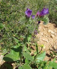 Echium plantagineum IMG_7517-001