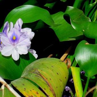 eichhornia-crassipes_giaz_vodn_img_0410-001