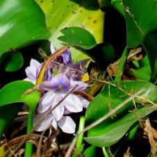 eichhornia-crassipes_giaz_vodn_img_0411-001