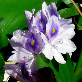 eichhornia-crassipes_giaz_vodn_img_0434-001