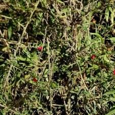 Enchylaena tomentosa IMG_6586-001