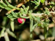Enchylaena tomentosa IMG_6588-001