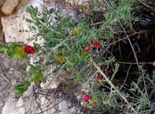 Enchylaena tomentosa IMG_6595-001