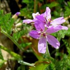 Erodium cicutarium IMG_6750-001