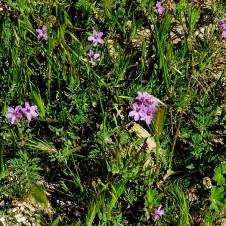 Erodium cicutarium IMG_8978_Tel-Arad
