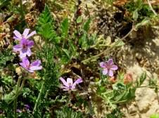Erodium cicutarium Negev_IMG_6688-001