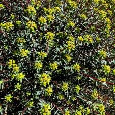 Euphorbia Ramon IMG_6723-001