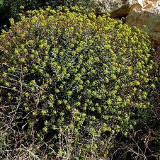 Euphorbia Ramon IMG_6730-001