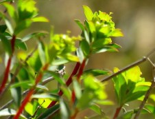 Euphorbia Ramon IMG_6743-001