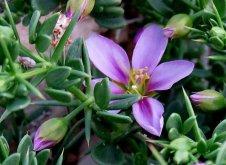 Fagonia mollis IMG_8251-002