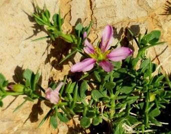 Fagonia mollis IMG_9795-001
