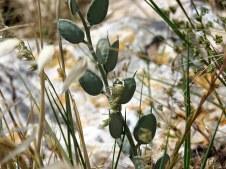 Fibigia clypeata IMG_5484-001