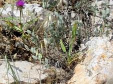 Fibigia clypeata IMG_5485-001
