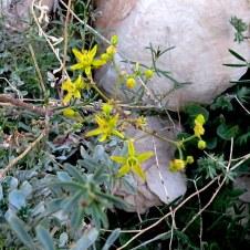 Haplophyllum tuberculatum IMG_8301-001