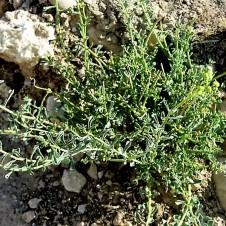 haplophyllum-tuberculatum-tcelnolistnik_img_9332-001
