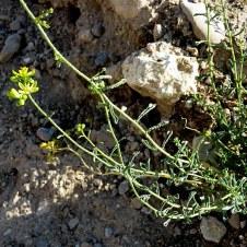 haplophyllum-tuberculatum-tcelnolistnik_img_9336-001