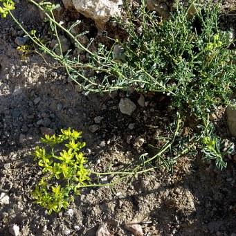 haplophyllum-tuberculatum-tcelnolistnik_img_9341-001