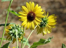 Helianthus annuus IMG_2723-006-a