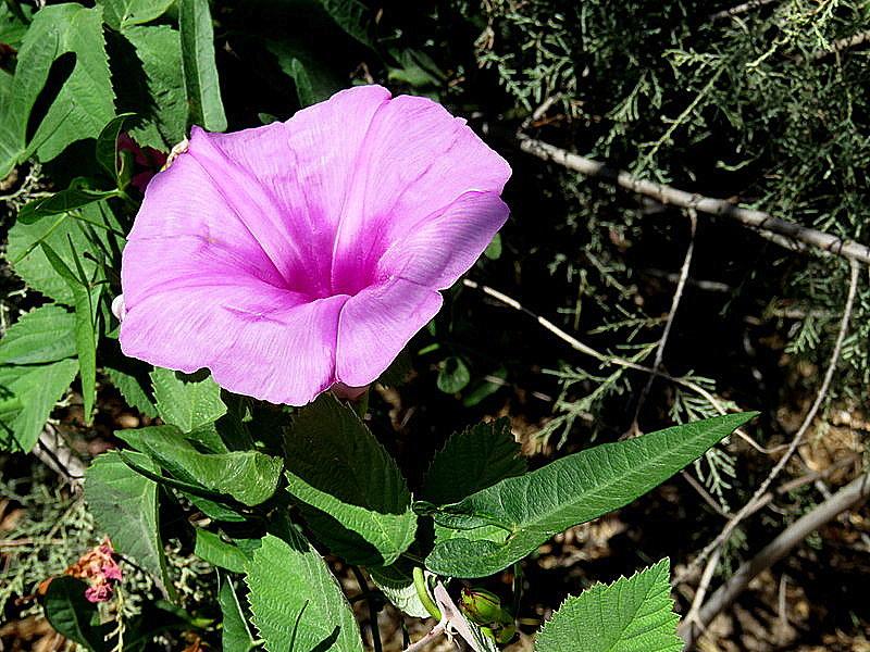 Ipomoea acuminata_IMG_6001-002