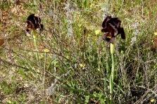 Iris atropurpurea_Purp_DSCN0394-001